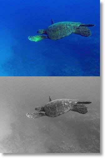 Turtle blue & monochrome