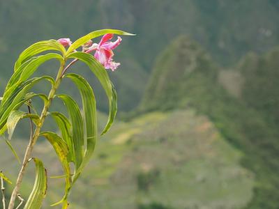 Orchid machu picchu