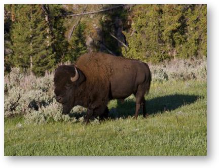 Big bison